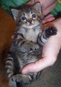 kitten belly