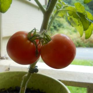 Ripetomatoes01