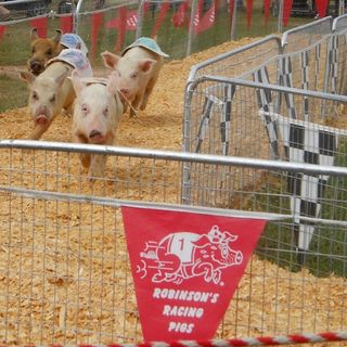Robinson's Racing Pigs at Georgia National Fair